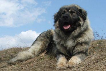 Šar Planinac authotona vrsta psa sa Brezovice